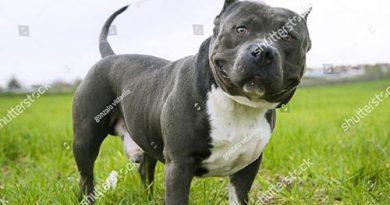 Nguộc gốc và đặc điểm của chó Bully