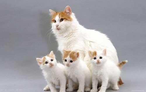 Mèo Turkish Van đặc điểm
