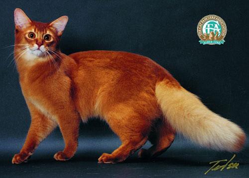 Chăm sóc mèo Somali