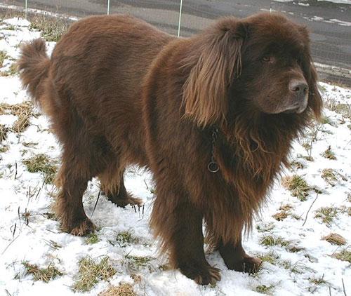 Giống chó Newfoundland bắt nguồn từ đâu