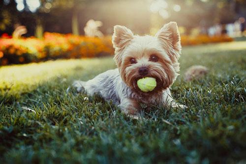 Đặc điểm của Giống chó Yorkshire Terrier