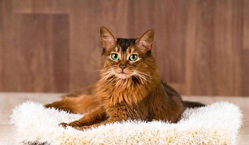 Đặc điểm mèo Somali