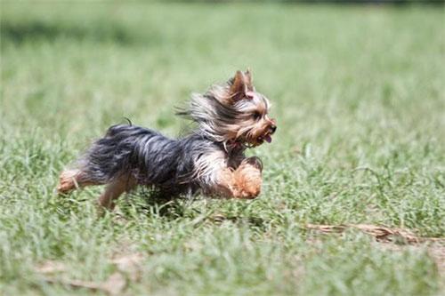 Giá của Giống chó Yorkshire Terrier