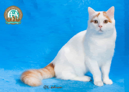Tính cách của mèo Turkish Van