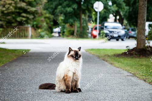 Mèo Balinese