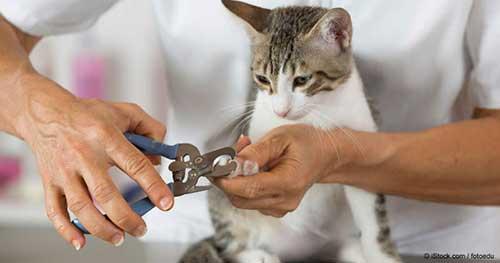 Có nên cắt móng cho mèo không