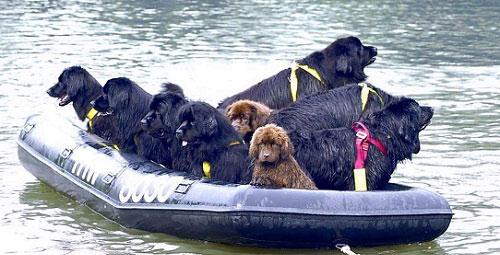 Chó Newfoundland cứu hộ