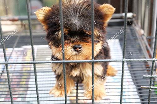 Thông tin về giống chó Yorkshire Terrier