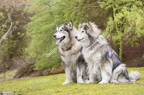 Nguồn gốc của chó Alaska
