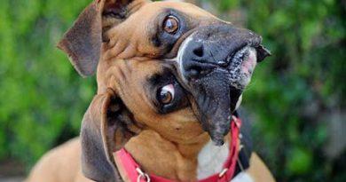 Chó Boxer