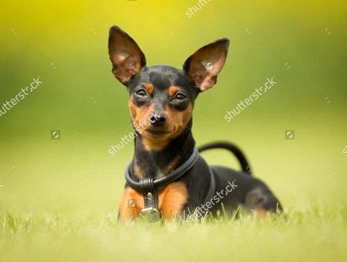 Chó Phốc Hươu