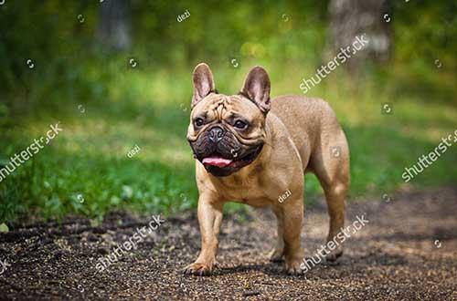 Đặc điểm chó Bull Pháp