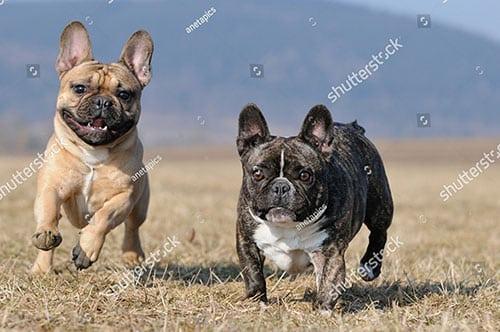 Nguồn gốc chó Bull Pháp