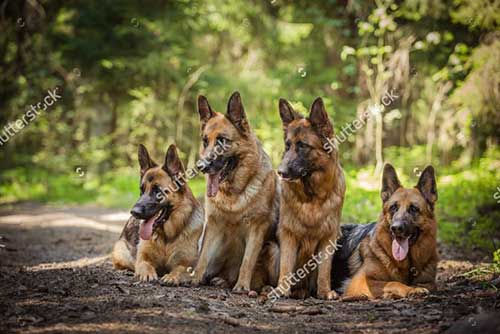 Chó chăn cừu Đức , chó Becgie
