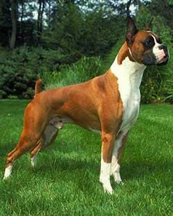 Đặc điểm chó Võ sĩ