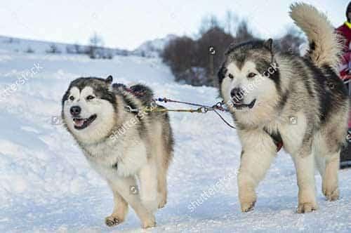 Đặc điểm của chó Alaska Malamute