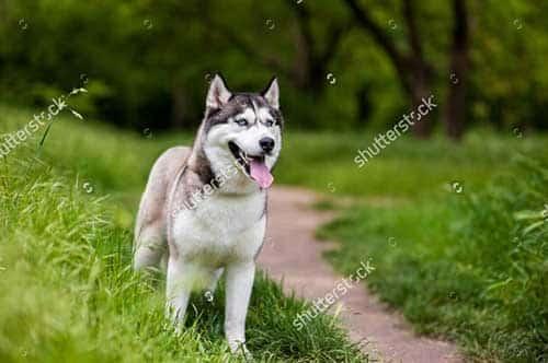 Giá tiền của chó Alaska