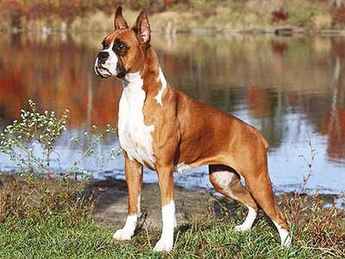 Tính cách của chó Võ sĩ, chó Boxer