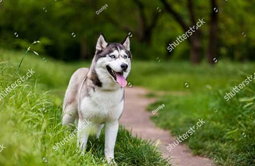 Mua chó Husky giá rẻ