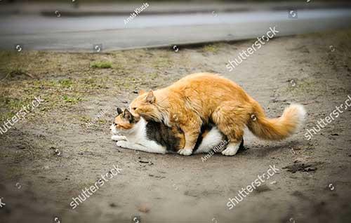 Cách phân biệt mèo đực mèo cái