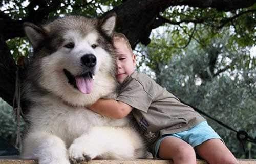 Tính cách của chó Alaska