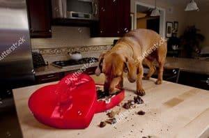 Chó ăn socola có sao không