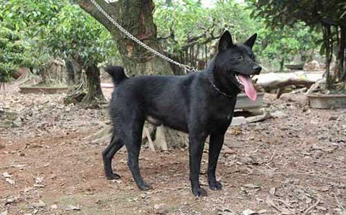 Nguồn gốc đặc điểm chó Mông Cộc