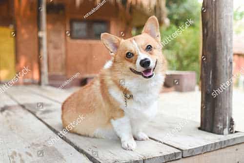 Mua chó Corgi giá bao nhiêu tại Việt Nam