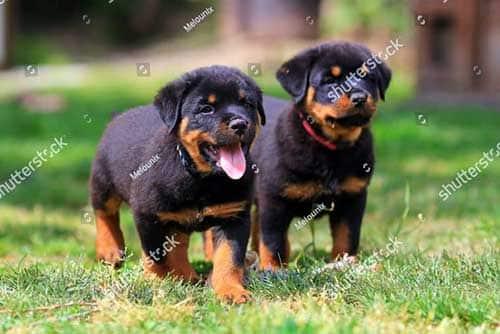 Nguồn gốc chó Rottweiler