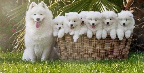 Chó Samoyed giá bao nhiêu