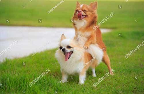 Các phương pháp phối giống chó