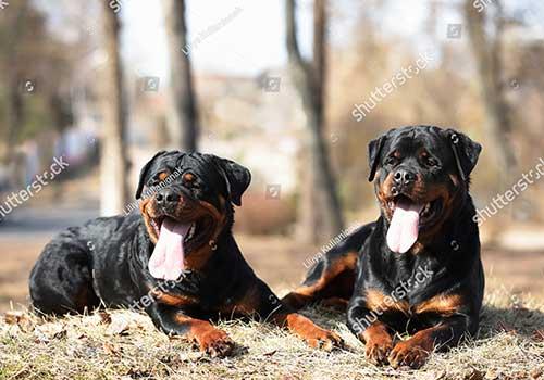 Huấn luyện chó Rottweiler cần chủ có kinh nghiệm