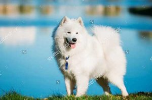 Mua chó Sampyed