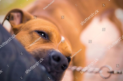 Chó cắn chủ tại sao