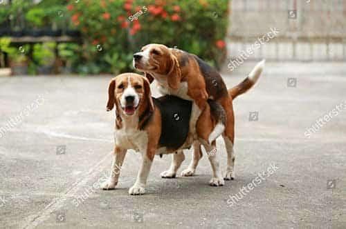 Cách chọn chó khi phối giống