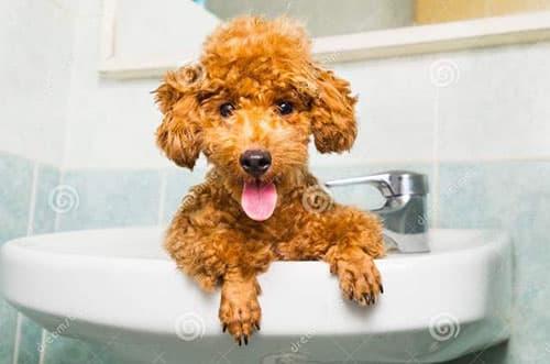 Tắm cho chó Poodle như thế nào