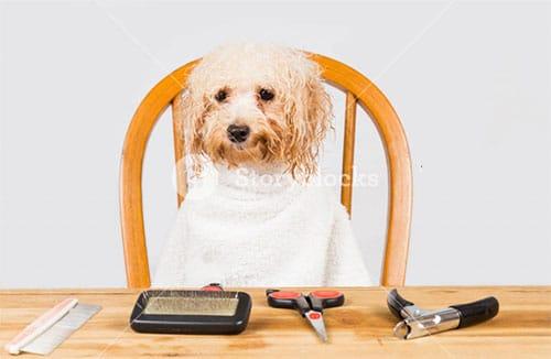 Cách tắm cho chó Poodle