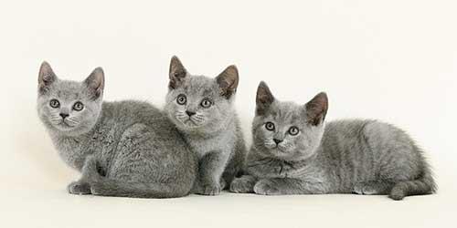Chăm sóc mèo Chartreux