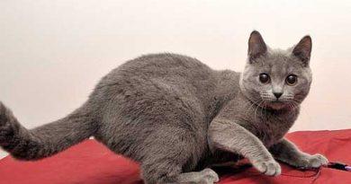 Đặc điểm mèo Chartreux