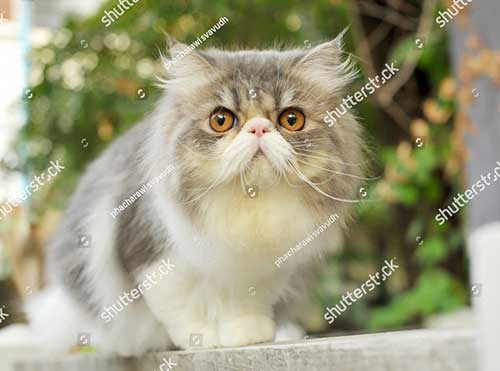 Giá của mèo Ba Tư