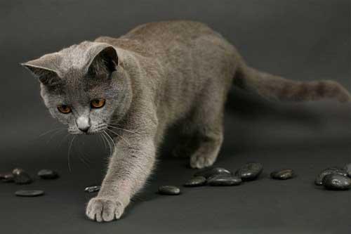 Nguồn gốc mèo Chartreux