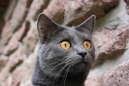 Tính cách mèo Chartreux