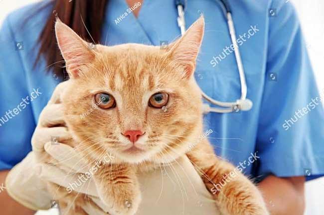 Tuổi thọ của mèo và cách chăm sóc để tăng tuổi thọ
