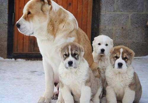 Chăm sóc chó Alabai