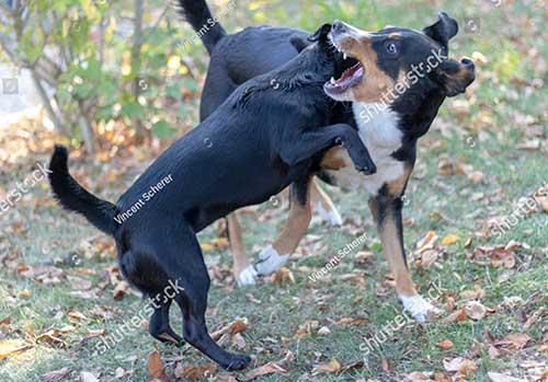 Nguyên nhân chó cắn nhau