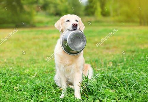 Chó Golden ăn gì