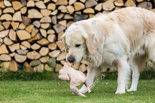 Chó Golden ăn gì và chăm sóc chó Golden