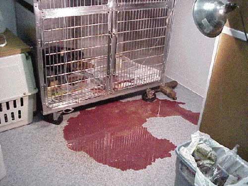 Chó đi ngoài ra máu là tại sao?