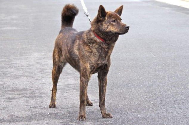Chó Kaiken