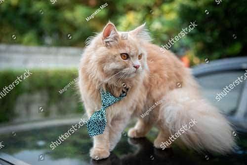 Mua mèo anh lông dài giá bao nhiêu